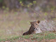 Sri Lankan leopard at Yala National Park Royalty Free Stock Images
