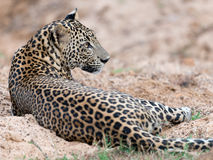 Sri Lankan leopard at Yala National Park Stock Photos