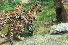 Sri lankan leopards Royalty Free Stock Images