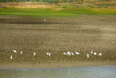 Sri Lankan Little Egret Flock Stock Photo