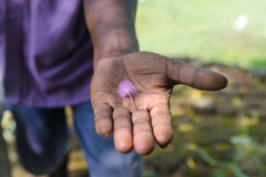 Sri Lankan man holds small small pink flower. Royalty Free Stock Images
