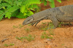 Sri Lankan Monitor Lizard Royalty Free Stock Images