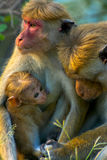 Sri Lankan Monkeys At Yala National Park. The Toque Macaque Is A Reddish Brown Coloured Old World Monkey Endemic To Sri Lanka Stock Image