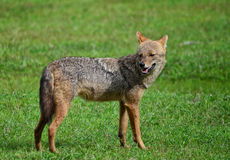 Wild Jackal on Grass Stock Image