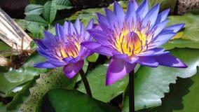 Sri lankan nation flowers. Beautiful sri lankan flowers nation flowers Stock Photo