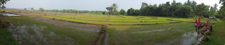 Sri Lankan paddy feild. Beauty of the villages` paddy field and still seeds are growing royalty free stock images