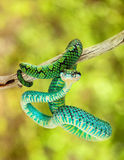 Sri Lankan Palm Viper Hanging On Branch Stock Images