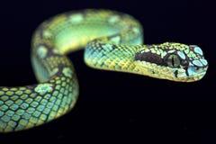 Sri Lankan pit viper (Trimeresurus trigonecephalus) Stock Photography