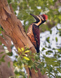 Sri Lankan red-backed woodpecker Stock Images