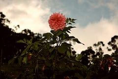SRI LANKAN RED ROSE FLOWER stock photo
