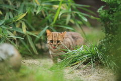 Sri Lankan rusty-spotted cat Stock Images