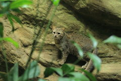 Sri Lankan rusty-spotted cat Royalty Free Stock Photography