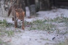 Sri Lankan rusty-spotted cat Royalty Free Stock Images