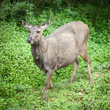 Sri Lankan sambar deer female Stock Images