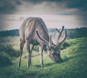 Sri Lankan sambar deer male. Male of the Sri Lankan sambar deer Royalty Free Stock Photo