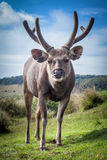 Sri Lankan sambar deer male Stock Image
