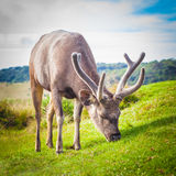 Sri Lankan sambar deer male. Male of the Sri Lankan sambar deer Stock Photo