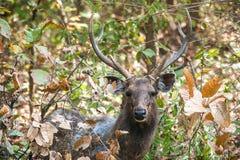 Sri Lankan sambar deer. Rusa unicolor (Indian Sambar, Sambar, Sambar Deer, Cervus unicolor). India Royalty Free Stock Photos