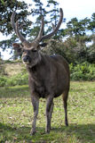 A Sri Lankan sambar deer stands near the entrance to the Horton Plains National Park. Stock Image