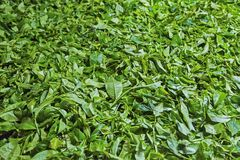Sri Lankan tea Stock Image