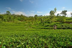 Sri Lankan tea plantation Stock Photo