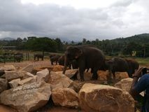 Sri Lankan terwijl olifant royalty-vrije stock afbeelding