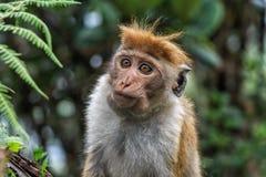 Sri-Lankan toque macaque Stock Afbeelding