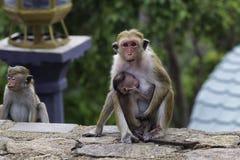 Sri-Lankan toque macaque (Macaca sinica) Royalty Free Stock Images