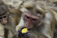 Sri-Lankan toque macaque (Macaca sinica) Royalty Free Stock Photography