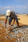 Sri Lankan traditional method of drying fresh fish Royalty Free Stock Photography
