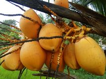 Sweet king coconut of sri lankan photos Stock Images