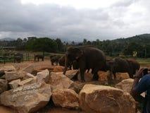 Sri Lankan während Elefant lizenzfreies stockbild