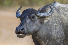 Sri Lankan Wild Buffalo - Bubalus arnee migona, Sri Lanka. Portrait of Sri Lankan Wild Buffalo, Sri Lanka Royalty Free Stock Image