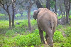 Sri Lankan Wild Elephant. Spotted in the Somawathiya Chaitya Sanctuary Stock Photos