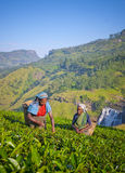 Sri Lankan Women Picking Tea Leaves Royalty Free Stock Image