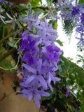 sri panka美丽的蓝色颜色花  库存照片