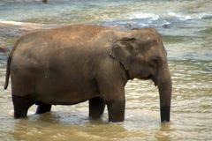 sri pinnawela детского дома lanka слона Стоковая Фотография