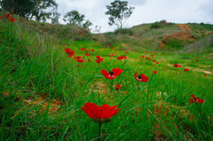 Série de Holyland - anémones Field#2 Photographie stock