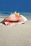 Série do Conch da praia Fotografia de Stock