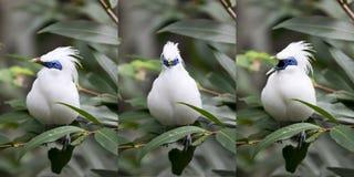 Série do pássaro de Mynah do Balinese Fotos de Stock