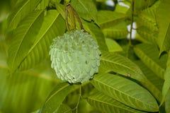 Srikaya o annona squamosa Fotografia Stock