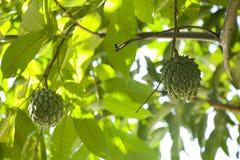 Srikaya ou squamosa d'annona Photo libre de droits