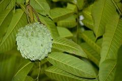 Srikaya ou squamosa do annona Imagens de Stock Royalty Free