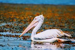 Srilankan Crane. Queen stock photography