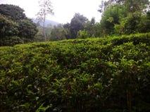 Srilankan herbata Obrazy Royalty Free