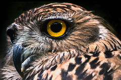 Srilankan owl closeup Stock Photography