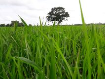 Srilankan Paddy cultivation. This picture in srilankan Paddy cultivation stock image