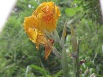 Srilankanen som den lösa blomman är, är appellcanas Royaltyfria Bilder