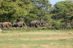 Srilankesisk elefant i löst royaltyfria bilder