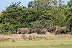 Srilankesisk elefant i löst arkivfoto